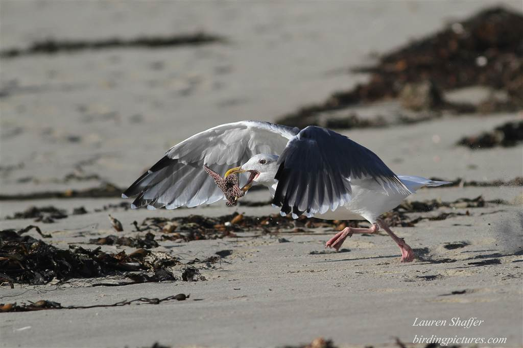 Western Gull with Sea star