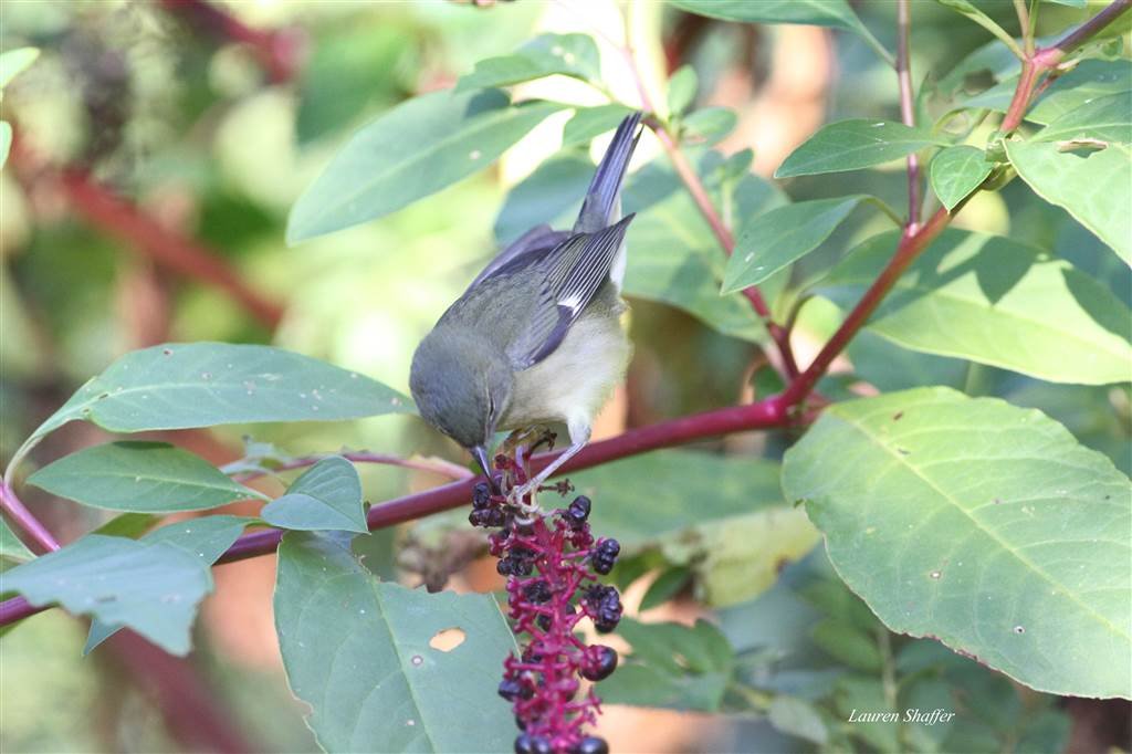 Female Black-throated Blue Warbler