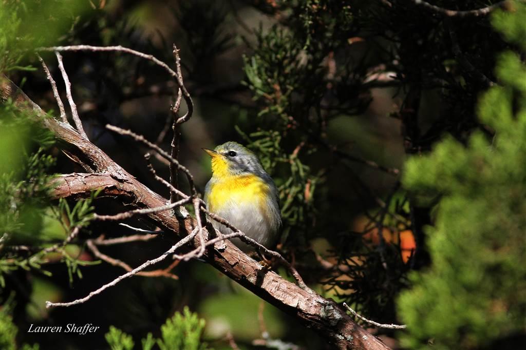 Parula Warbler