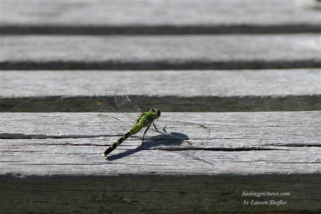 Eastern Pondhawk, female