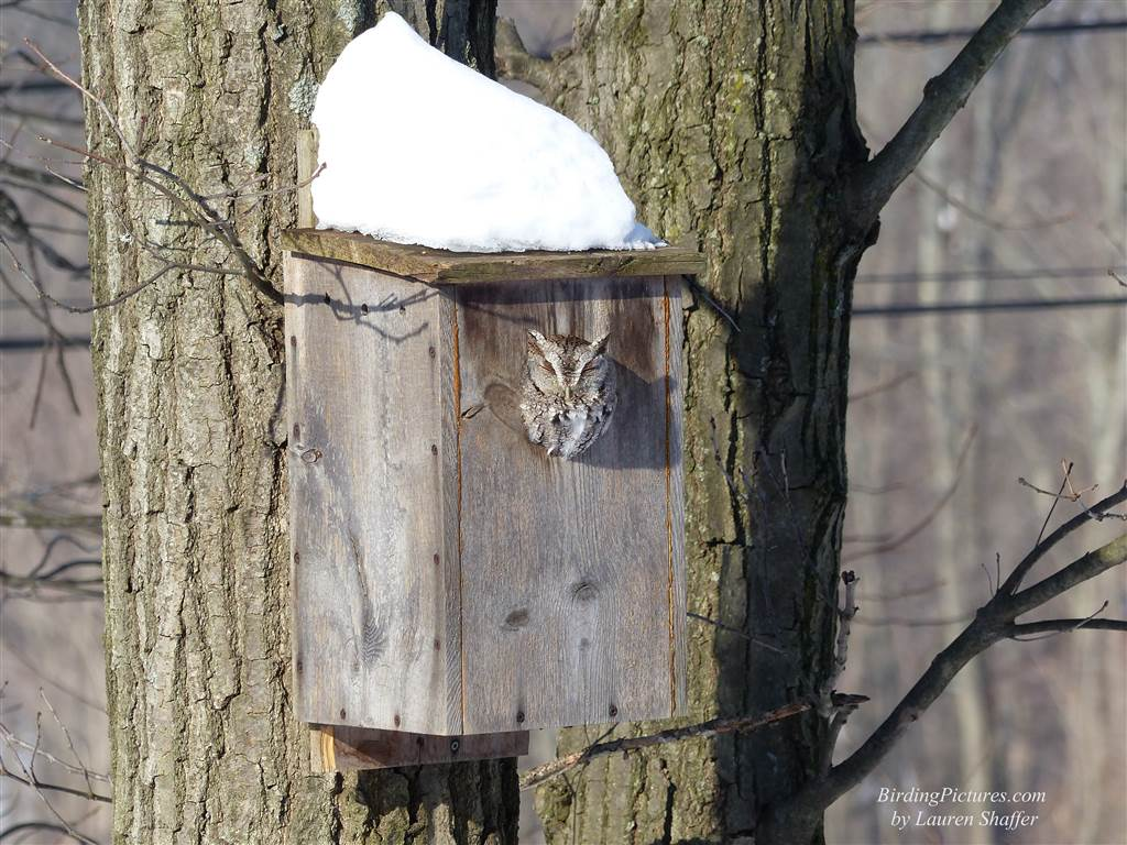 Eastern Screech Owl in box