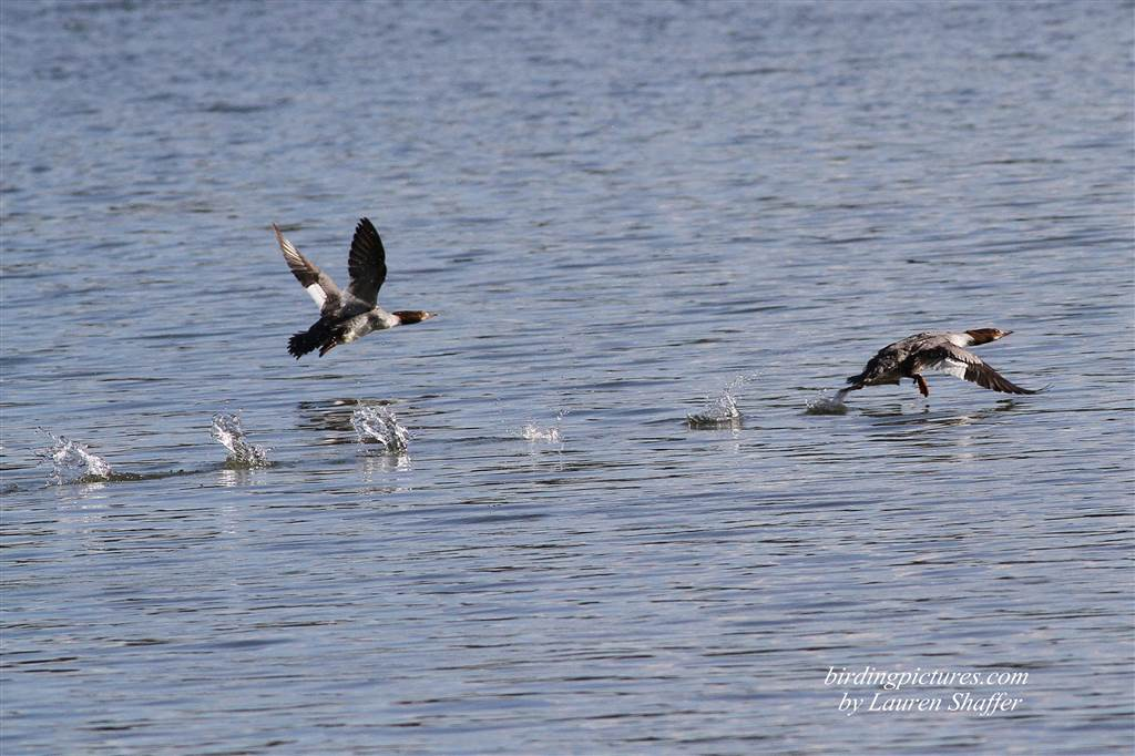 Some species of waterfowl rise straight up out of the water when taking off, but mergansers need to run across the water quite a distance before actually taking flight.