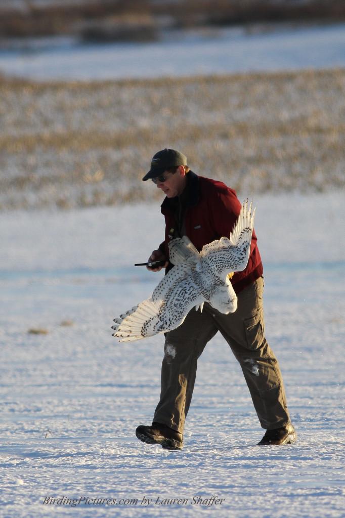 Snowy Owl banding