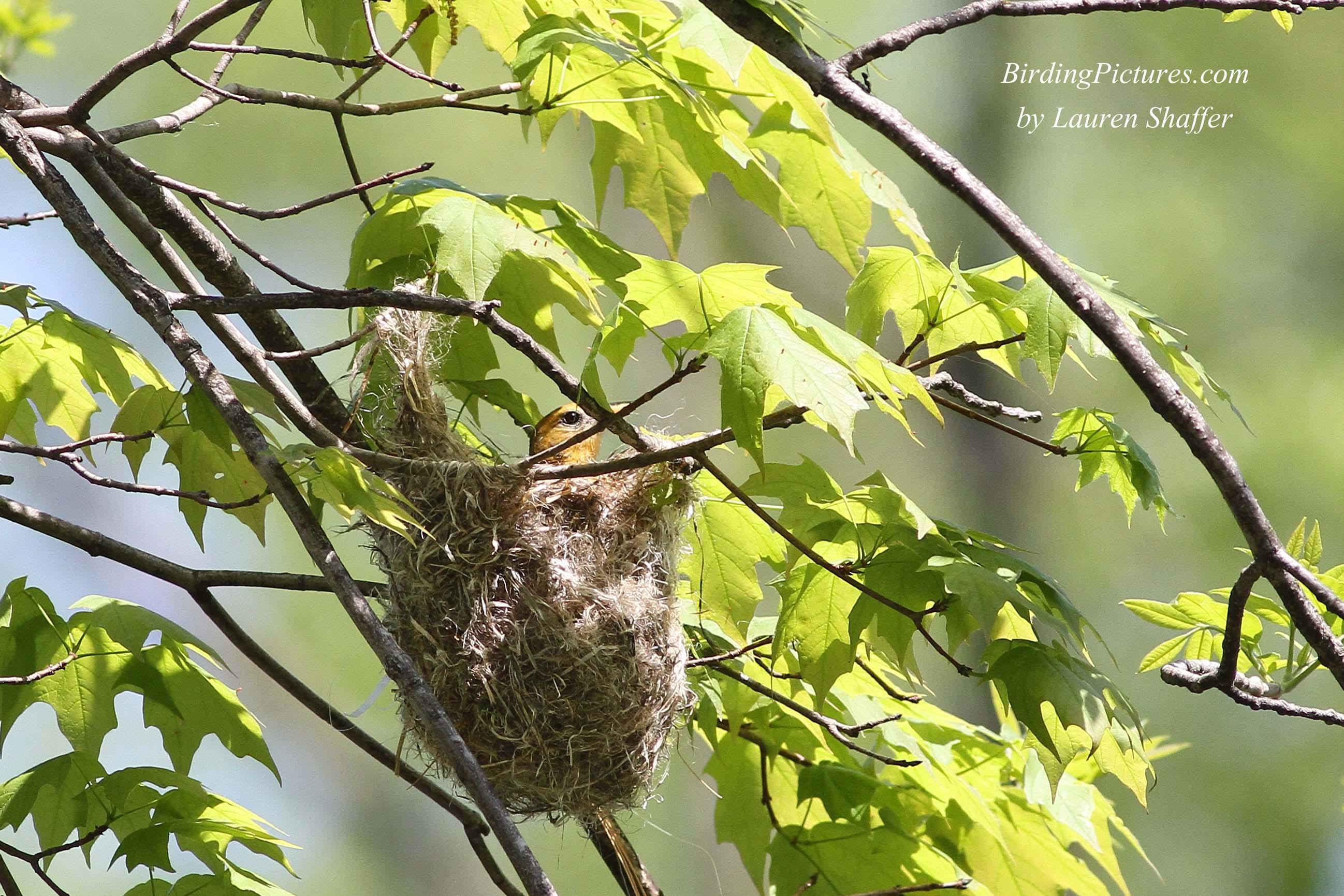 Oriole de Scott - Introducción | Aves de América del Norte en línea