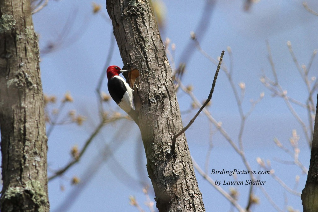 Red-headed Woodpecker_9351