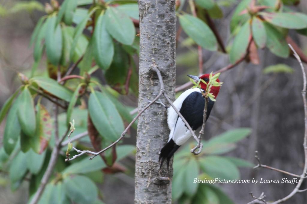 Red-headed Woodpecker_9401