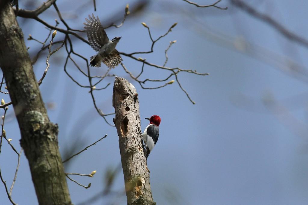 Woodpecker fight_9342