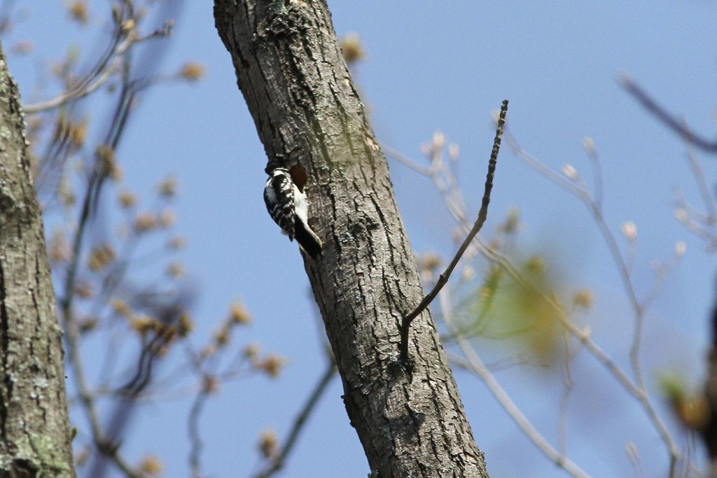 Red headed Woodpecker and Downy