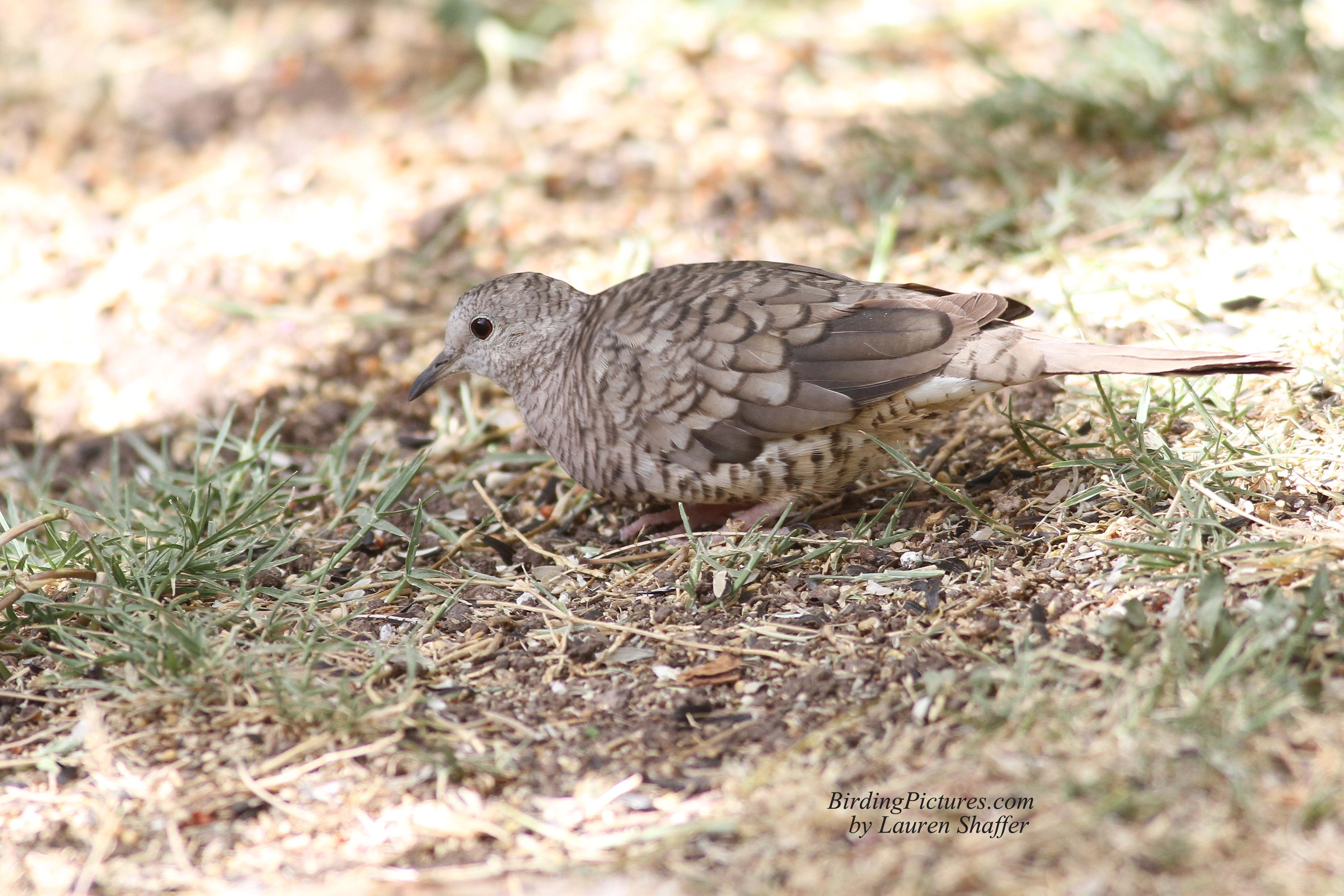 Cómo identificar a las aves: The Mourning Dove - YouTube