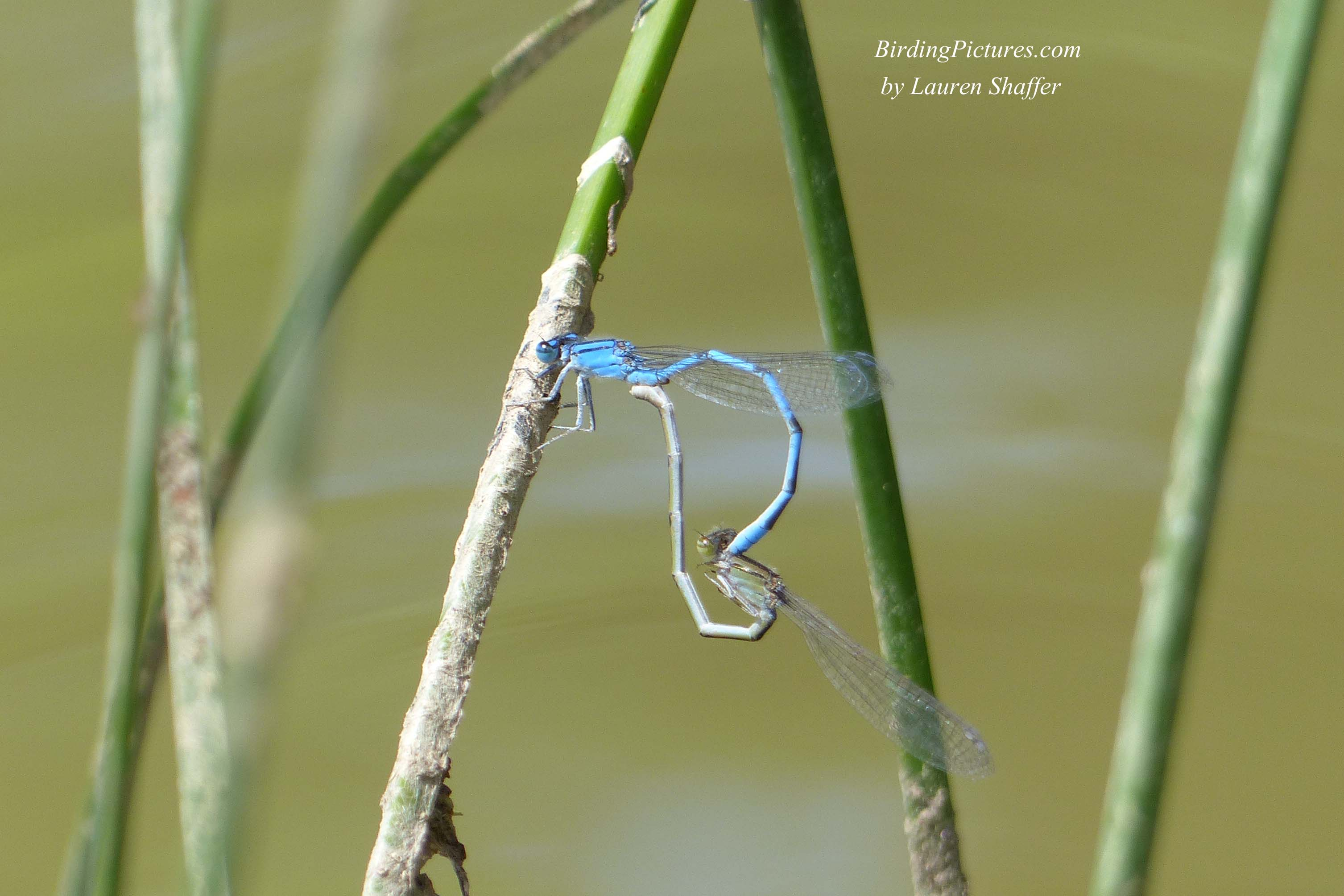 Bluet Damselfly Wheel