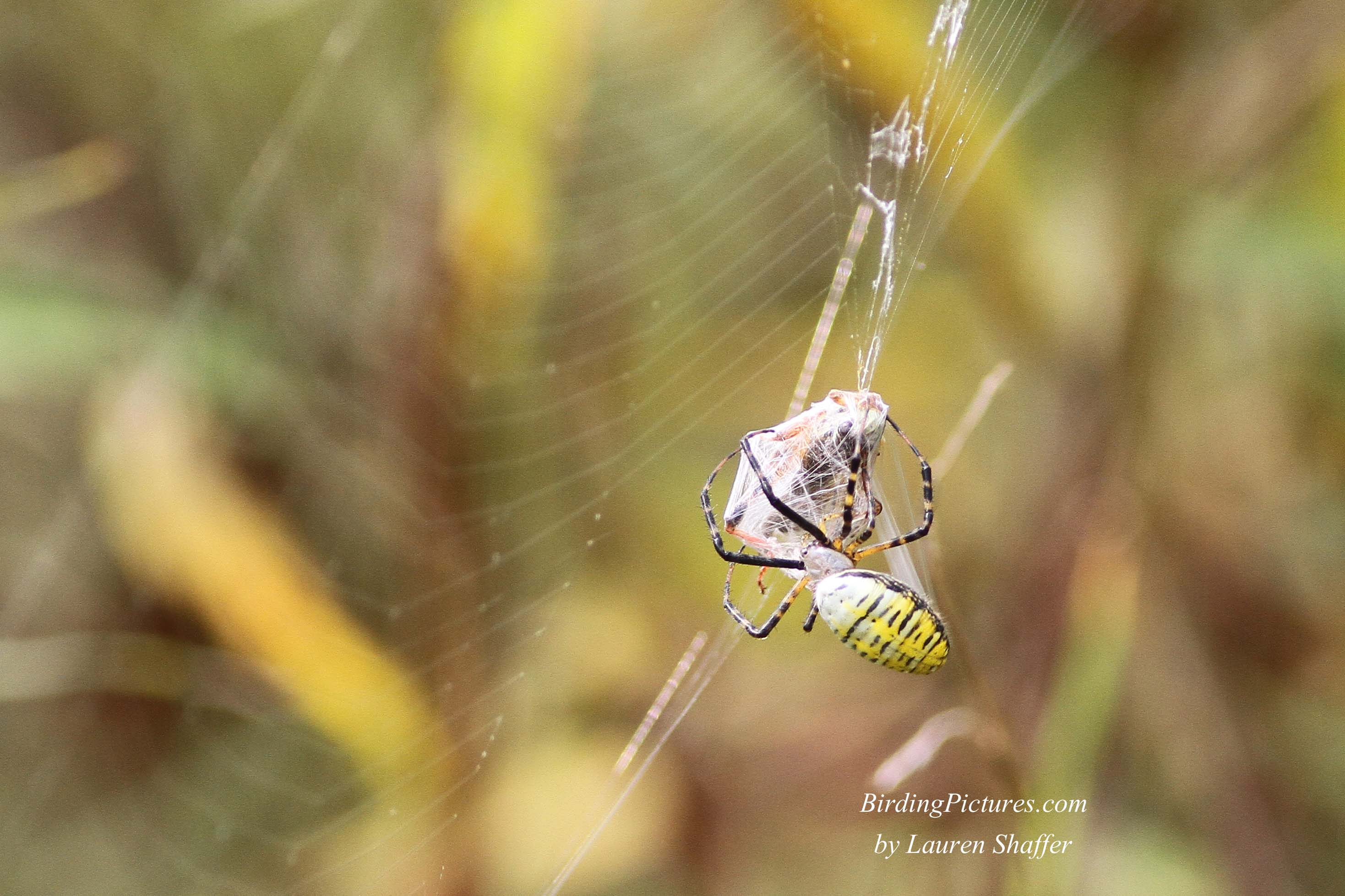 Garden Spiders are impressive with their large size, and bright ...