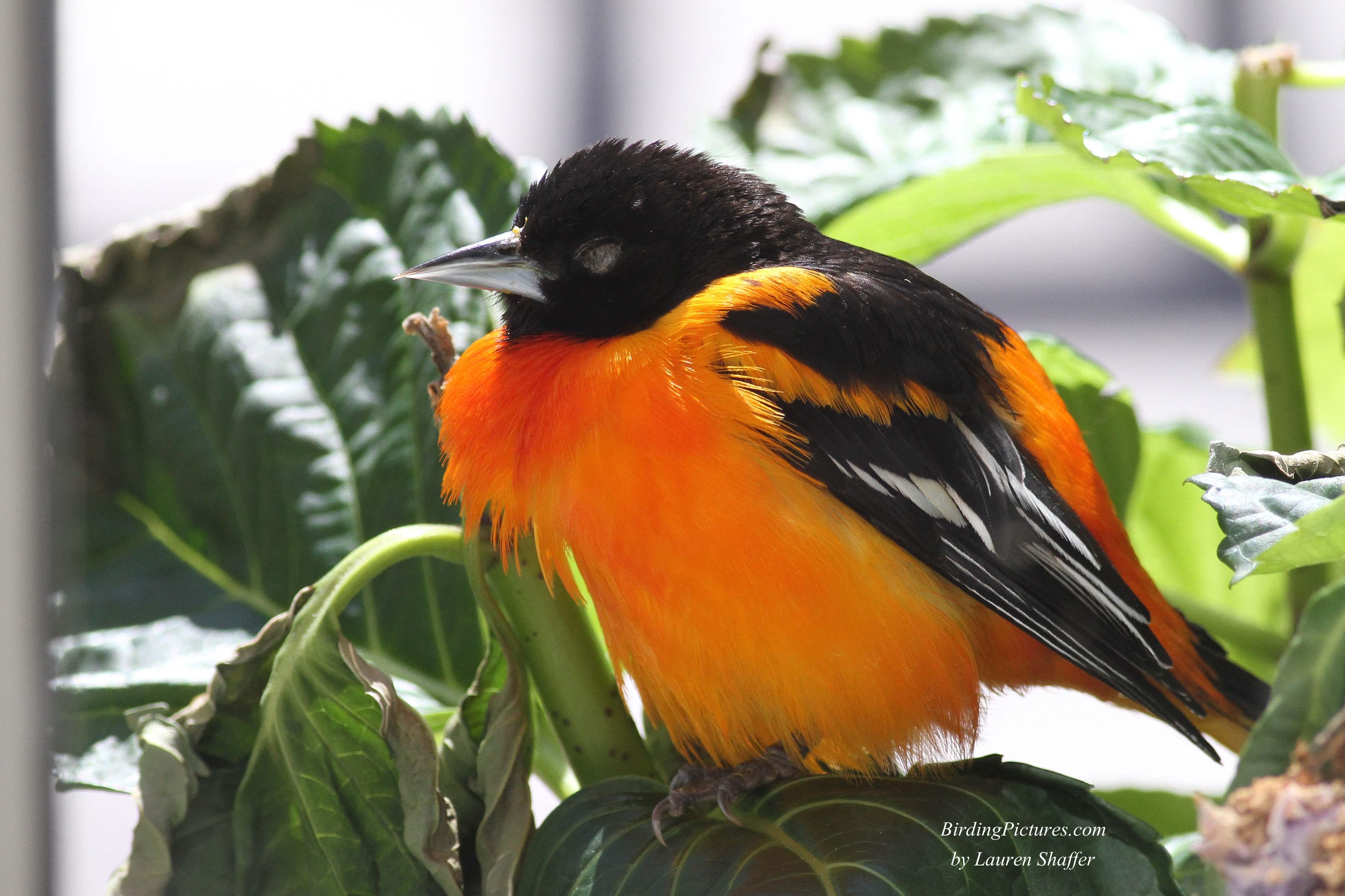 Cómo Atraer Orioles | Atraer aves - Pájaros & amp; Florece
