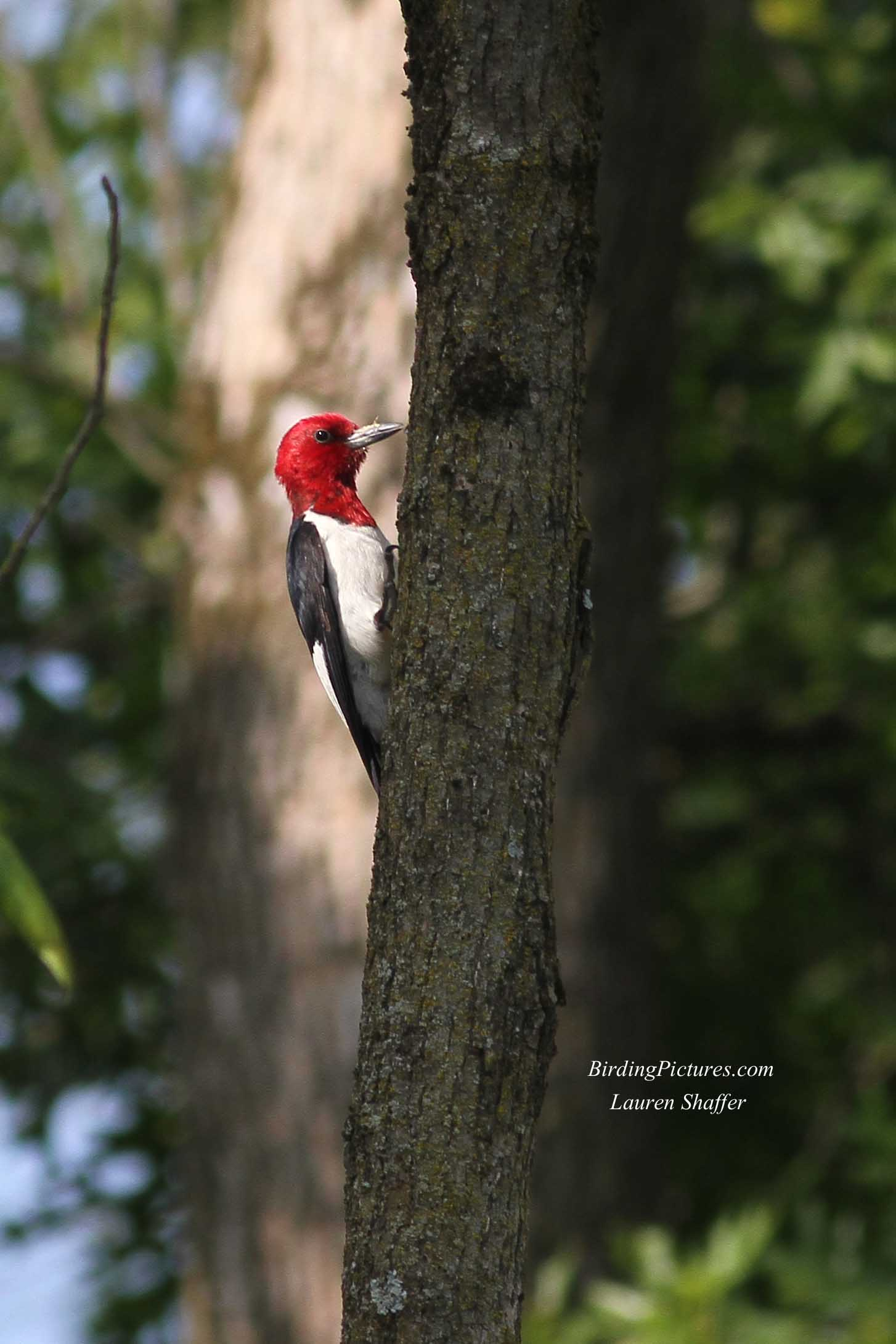 Red-headed Woodpecker