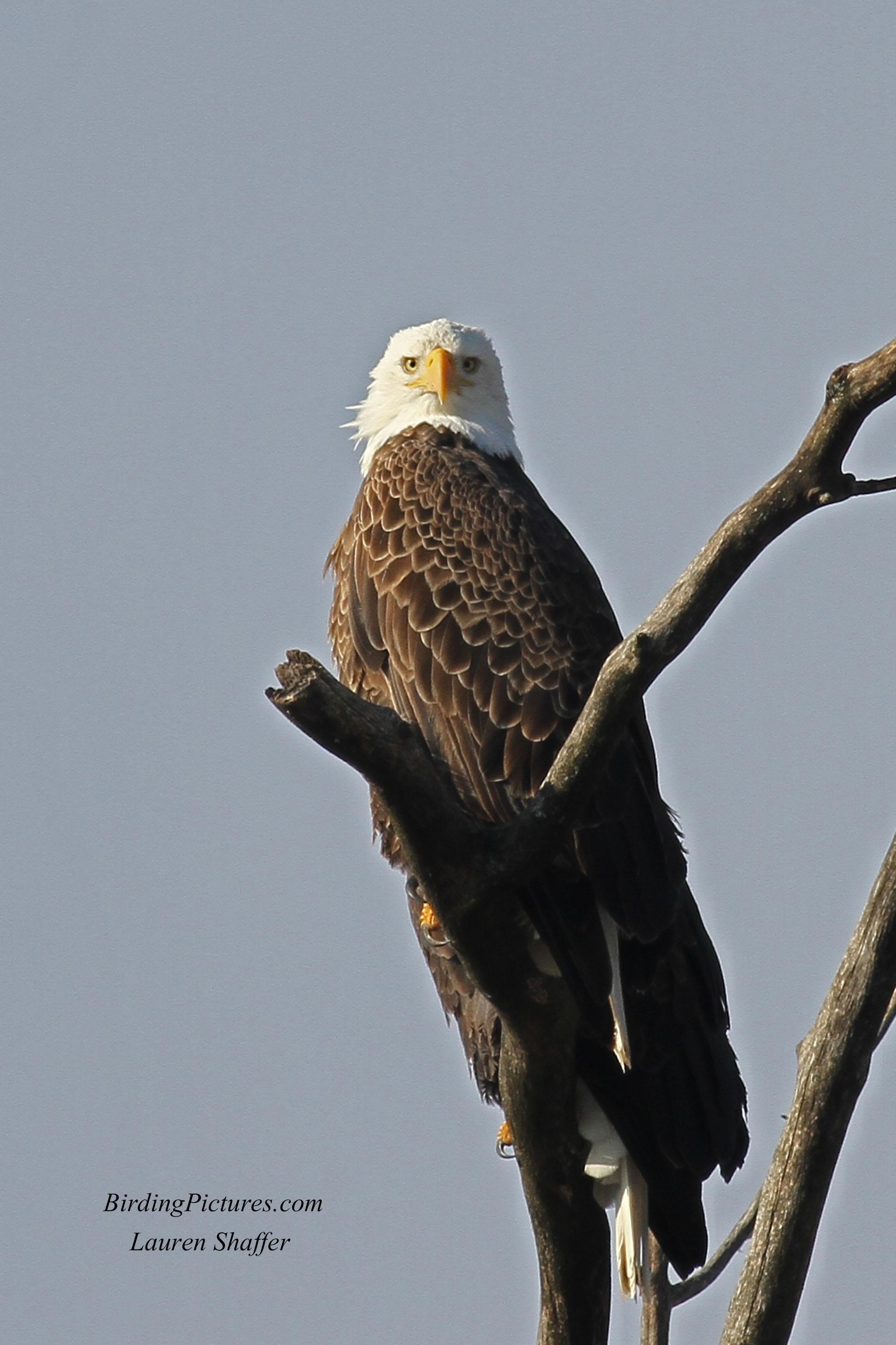bald eagle birding pictures