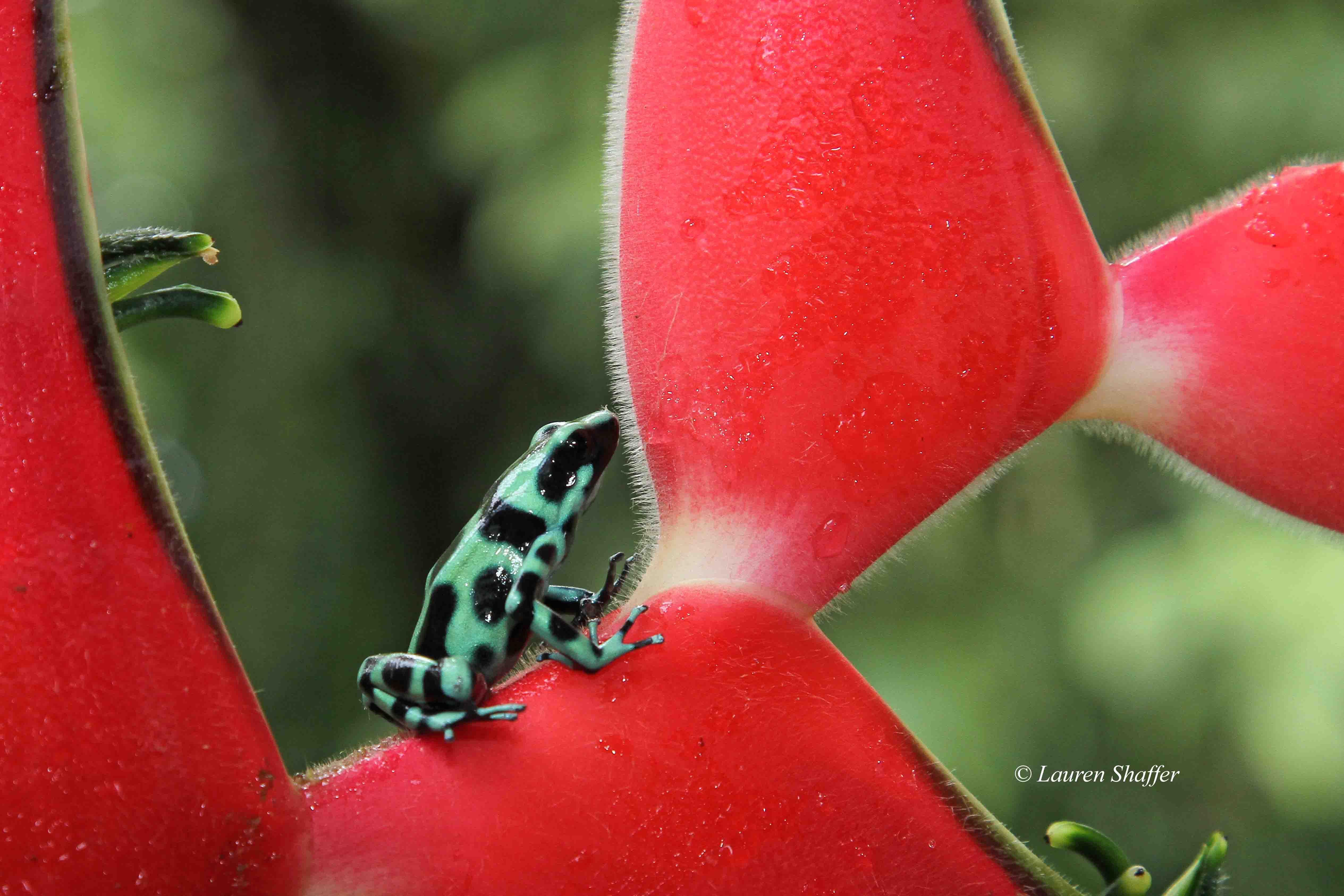 Macro Poison dart frog